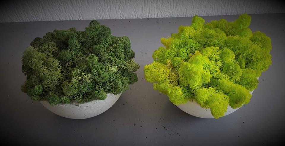 zdjecie chrobotek misa pmdesign - Chrobotek reniferowy - zieleń dla leniwych